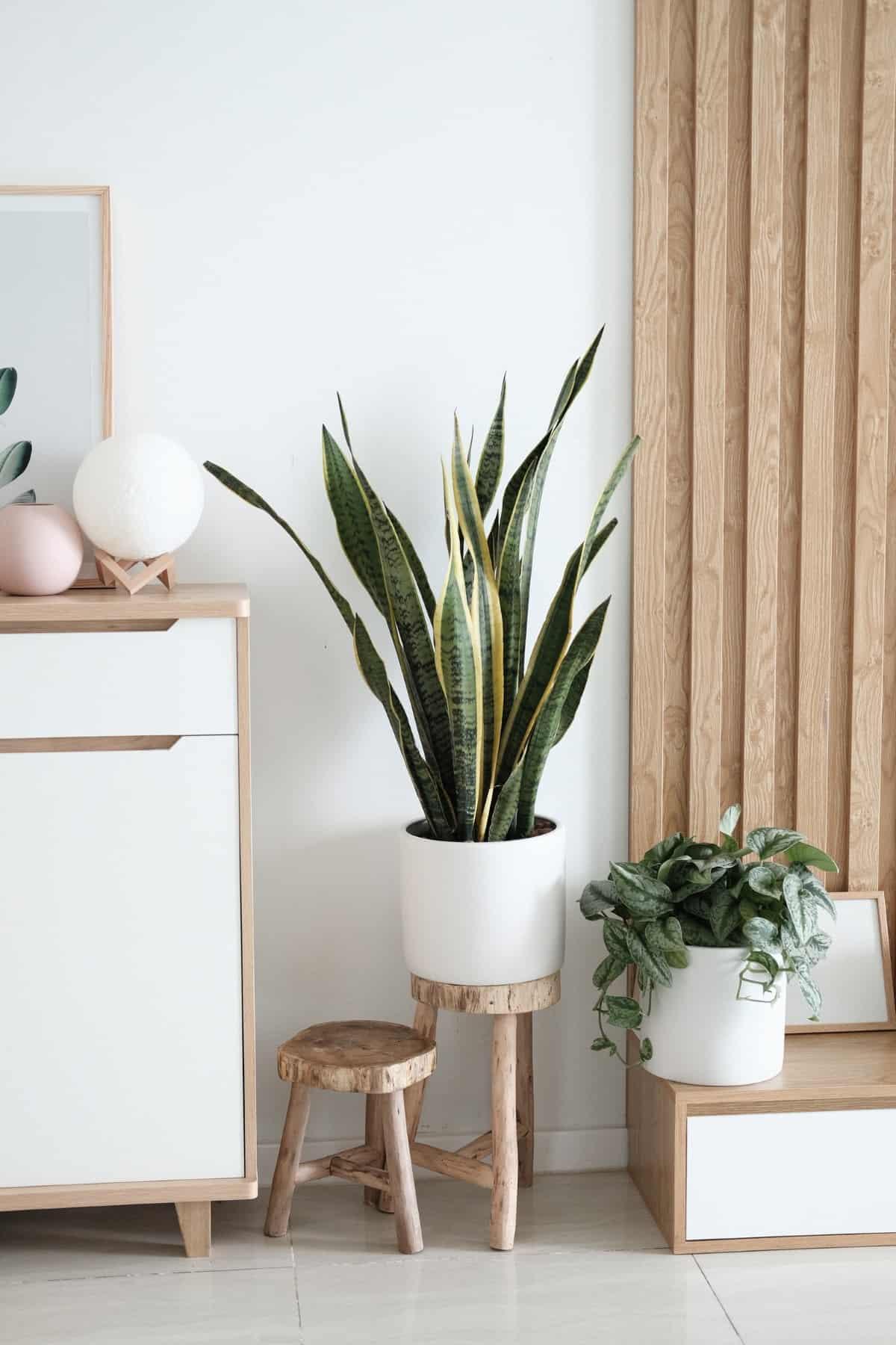 ev bitkisi sansivieria