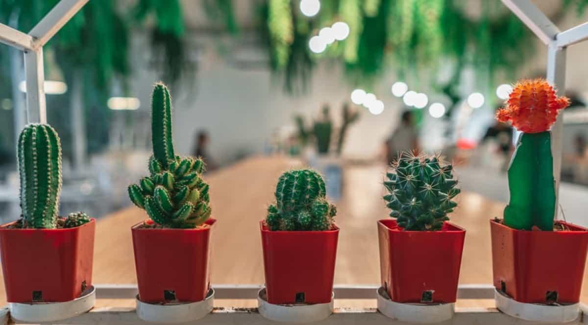 kapalı bitki kaktüs