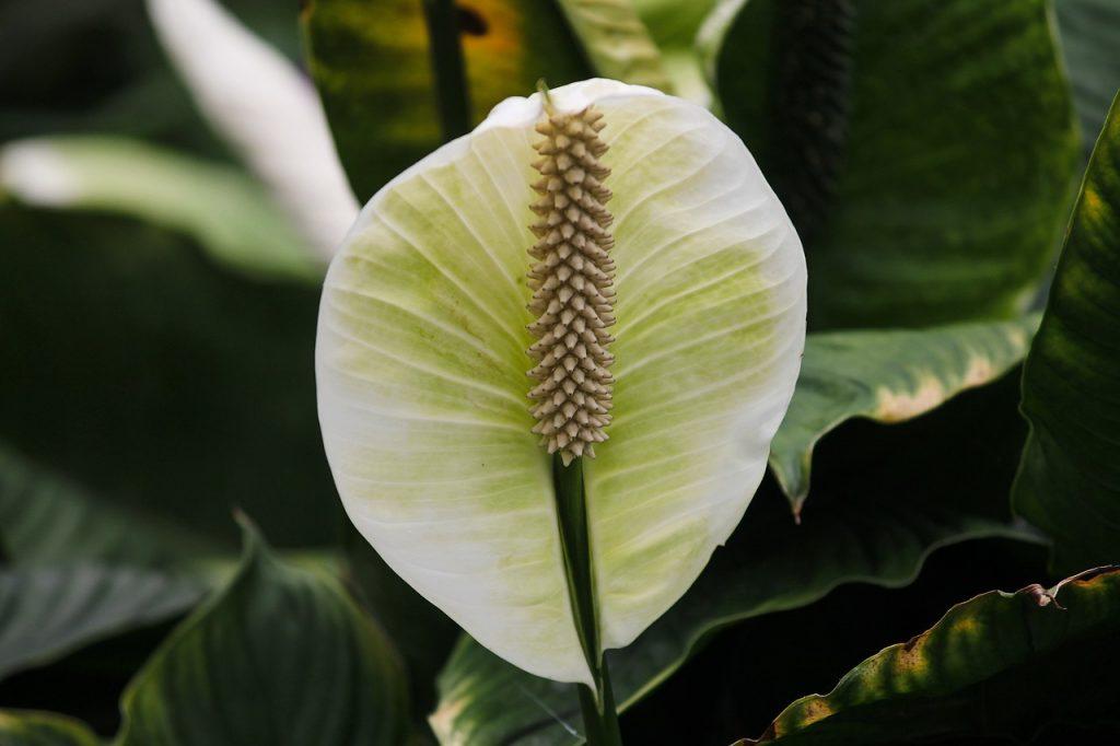çiçekli iç mekan bitkileri